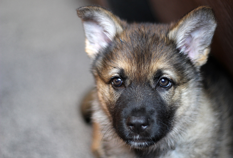 Sable German Shepherd Puppy